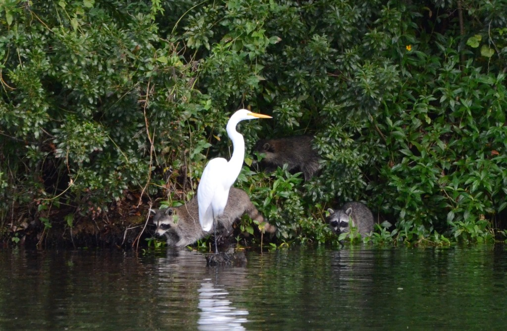 Great Egret, Raccoon, and Two Kits