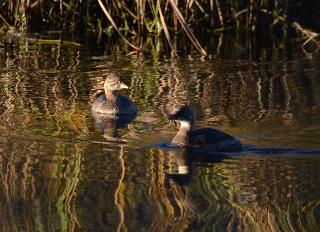 Pied Billed Grebes