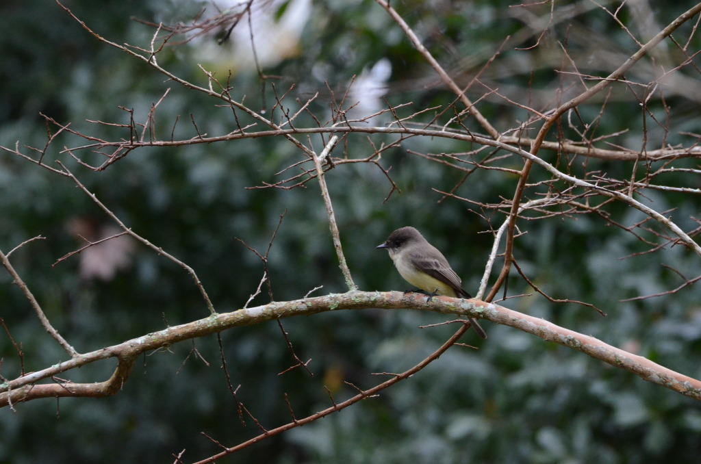 eastern.phoebe.in.front.yard
