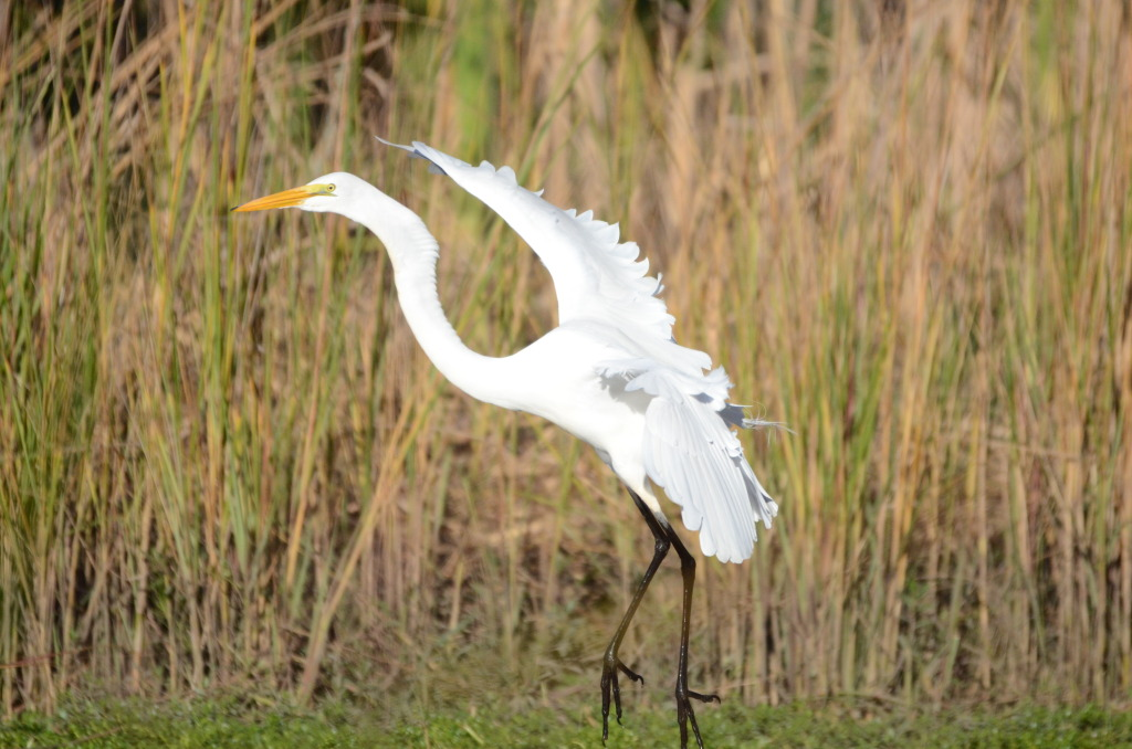 great.egret