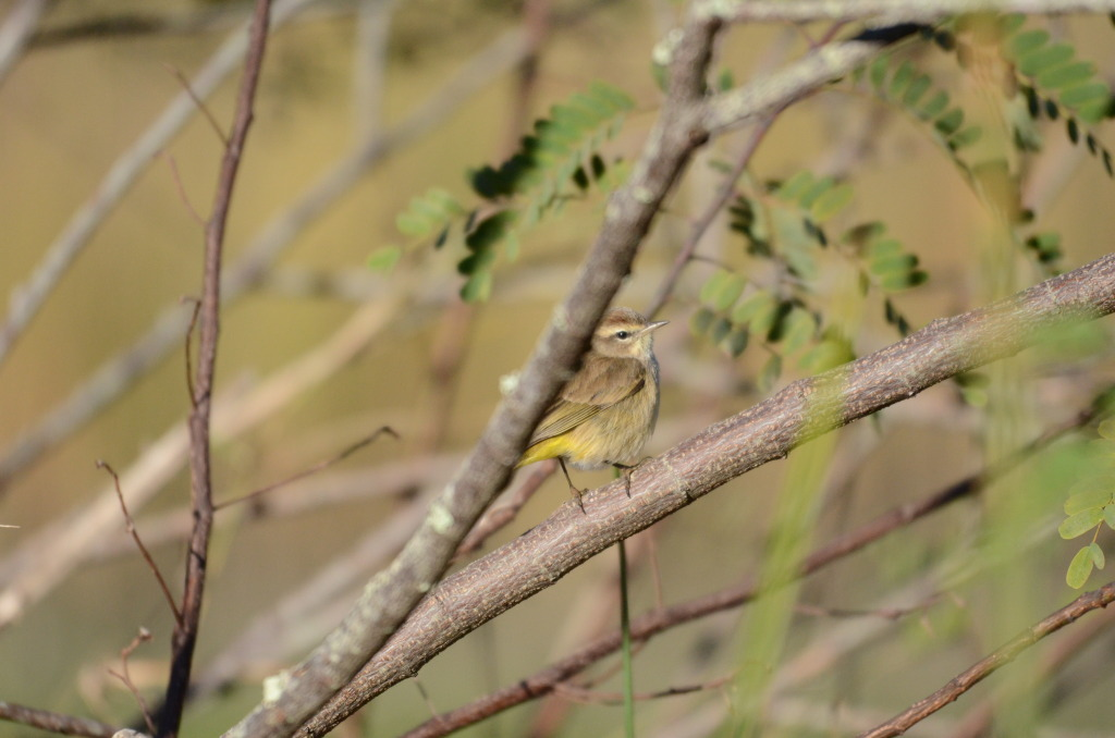 palm.warbler.in.tree