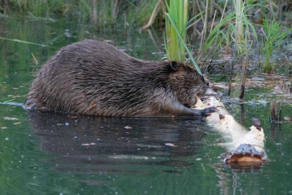 beaver.chewing.1.7.20.20.gb