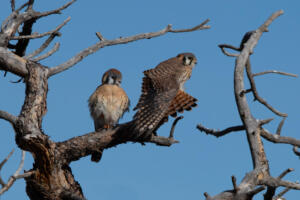 american.kestrels.without.branches.alt.1.11.20.mount.falcon
