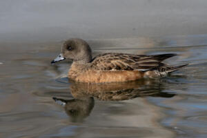 american.wigeon.female.2.11.20.gb