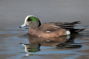 american.wigeon.male.2.11.20.gb