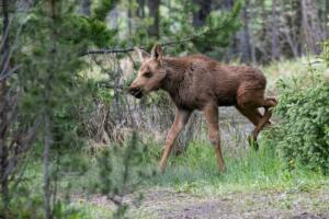 baby.moose.6.24.19.rmnp