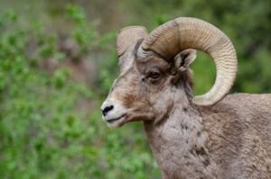 big.horn.sheep.5.19.19.waterton.canyon