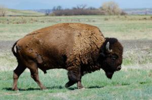 bison.4.27.19.rocky.mountain.arsenal