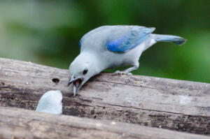 blue.gray.tanager
