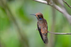 brown.backed.colibri