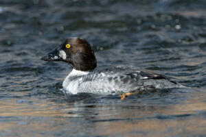 common.goldeneye.female.1.18.20.gb