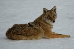 coyote.12.14.19.by