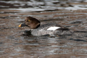 female.common.goldeneye.2.17.20.waterton