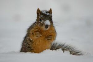fox.squirrel.11.30.19.by-2