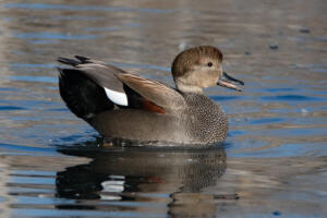 gadwall.display.2.8.20.gb