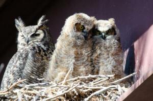 great.horned.owls.4.25.19.greenbelt.west