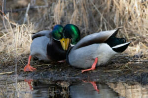 mallard.mating.season.12.14.19.by