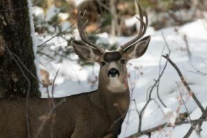 mule.deer.buck.11.28.19.turkey.day.staunton