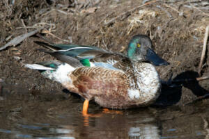 northern.shoveler.male.colors.1.18.20.gb