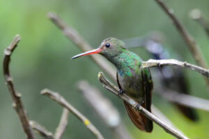 red.beaked.colibri