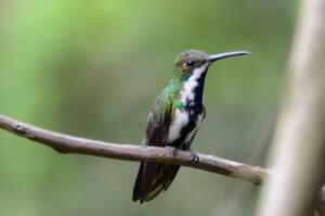 streak.throated.colibri