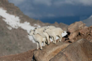 three.mountain.goats.7.28.19.mt.evans
