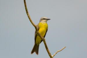 tropical.kingbird