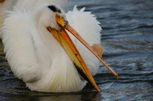 white.pelican.5.3.19.barr.lake