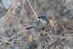woodhouse.scrub.jay.revised.12.29.19.gb