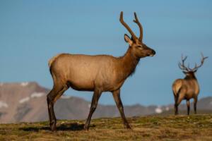 young.bull.elk.8.24.19.rmnp