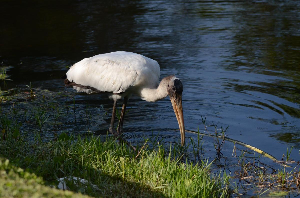 juvenile.wood_.stork_.3.4.22.15JPG